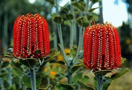 Australian funeral flowers for a funeral celebrant